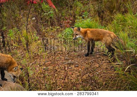 Red Fox (vulpes Vulpes) Stands Looking At Other Autumn - Captive Animals