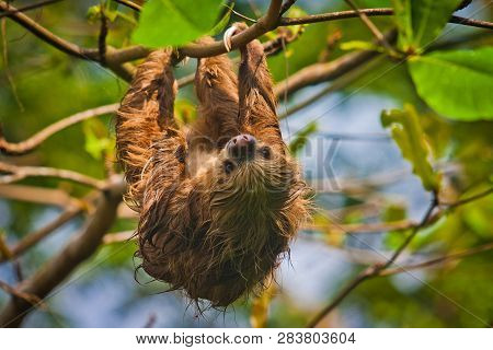 Slow Sloth Chilling On The Tree In Costarica