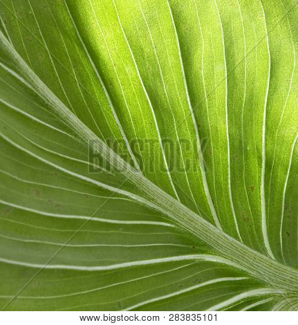 Close Up Of Natural Green Leaves Background, Tropical Foliage Texture.