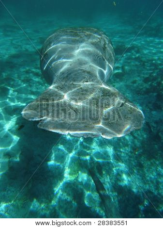 West Indian Manatee Tail