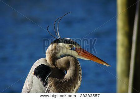 Greatn Blue Heron
