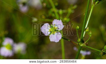 Flower of European water-plantain or Alisma plantago-aquatica close-up, selective focus, shallow DOF poster
