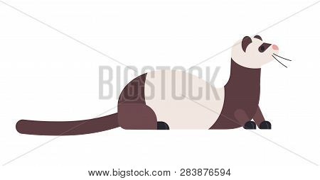 Cute Domestic Ferret Or Wild Polecat. Adorable Domesticated Carnivorous Animal Isolated On White Bac