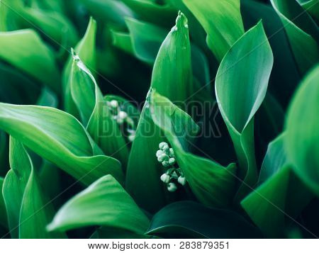 Spring Background With Blooming Lily Of The Valley Close-up. Blooming Lily Of The Valley In Spring G