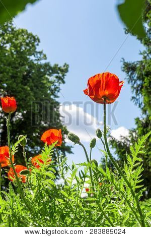 Red Poppies Flowers Image & Photo (Free Trial) | Bigstock