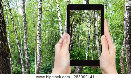 Travel Concept - Tourist Photographs Of White Birch Trees In Green Forest On Summer Day On Smartphon
