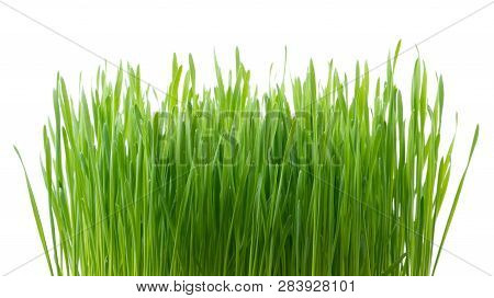 .green Wheat Grass Isolated On White Background