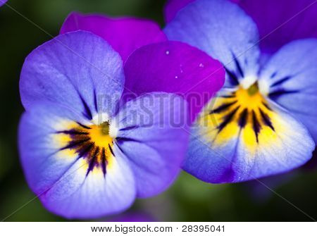 Two Beautiful Pansy Flowers