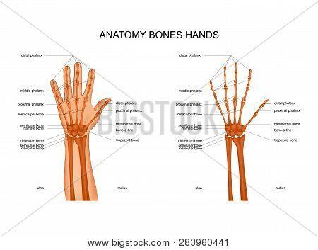 Vector Illustration Of Hand Bone Anatomy. Skeleton