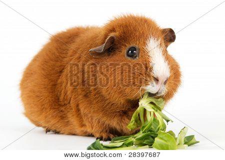 Guinea Pig With Salad