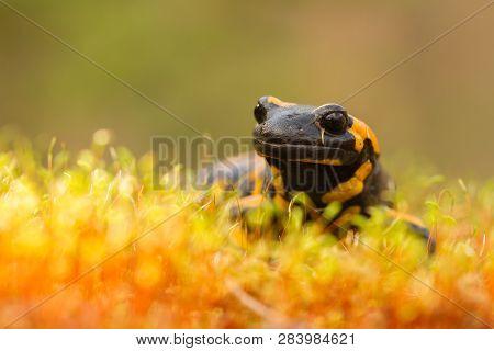 The Fire Salamander Salamandra Salamandra In Czech Republic