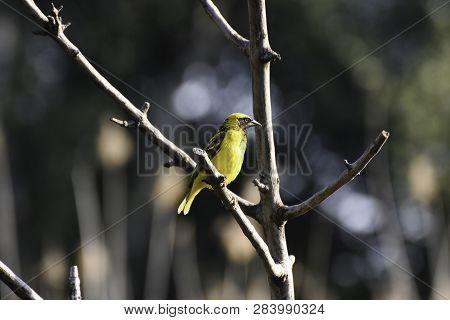 Spotted-backed Village Weaver Bird (ploceus Cucullatus), Pretoria, South Africa