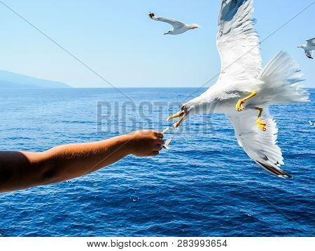 Feeding Gulls From The Hands. Seagulls Fly In The Sky, Seabird Seagull. Seagulls Fly In The Sky, Sea