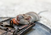 Disposal dead mouse caught in mousetrap in house mice control poster