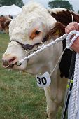 Prize winning bull at Moreton in Marsh Agricultural Show poster