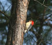 A picutre of a red bellied woodpecker sitting on a tree poster
