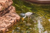 The Yellow-billed Stork, Mycteria ibis, is a large wading bird in the stork family Ciconiidae poster