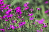 Dianthus deltoides maiden pink flowers and green leaves background, close up detail poster