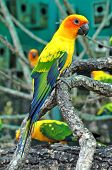 Sun Conure has a rich yellow crown nape mantle lesser wing-coverts tips of the greater wing-coverts chest and underwing-coverts. poster