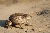 Common Spadefoot on the ground frog brown poster