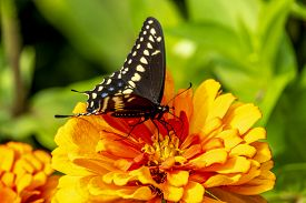 Papilio Troilus, The Spicebush Swallowtail Or Green-clouded Butterfly, Is A Common Black Swallowtail