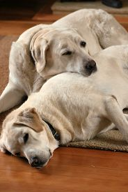 Two White Labrador Dogs Snooze Indoors On A Living Room Sofa. Taken In Upton-by-chester, England, Uk