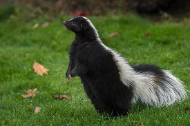 Striped Skunk (mephitis Mephitis) Stands Up On Back Paws Autumn - Captive Animal