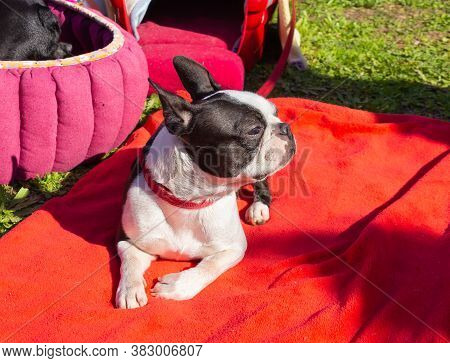 Acre, Israel, January 3, 2016 : The French Bulldog At A Dog Festival - Competition In The City Of Ak