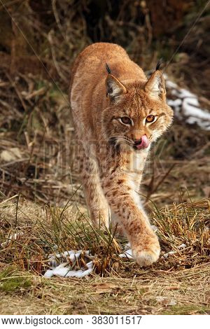 The Eurasian Lynx (lynx Lynx) Going Against A Photographer In The Early Spring With Tongue
