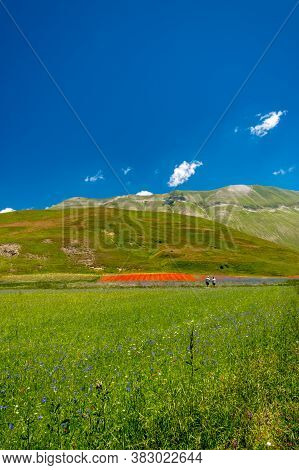 Blooming Of Lentil On Castelluccio Di Norcia Plain