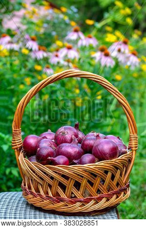 Basket With Red Onions Stands On Chair Against The Background Of Flower Garden