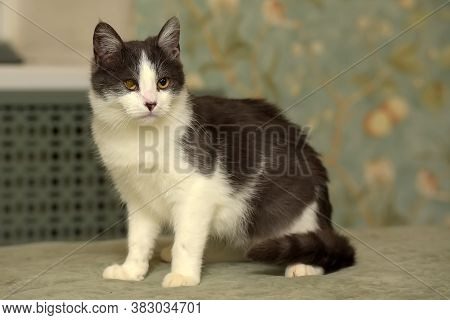 White With Gray Young  Cat