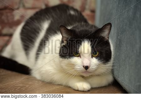 Frightened Cat Lies On The Floor Black And White Shorthair