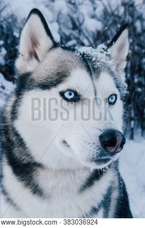 Husky Dog With Blue Eyes In Winter. Winter Portrait Of A Siberian Husky.