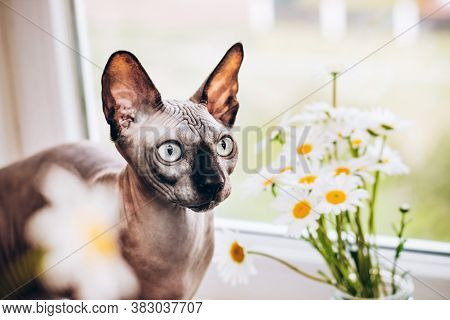 Canadian Hairless Cat Sphinx And Blooming Daisies