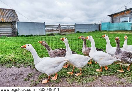 Rural Scene. White And Motley Geese Walk In A Row Through The Siberian Village, Russia