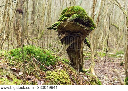Dense Forest And Green Moss, Old Stump In The Moss