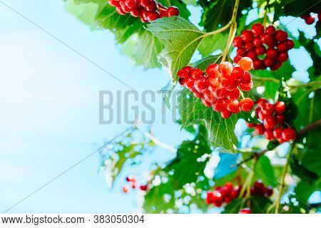 Red Berries Of Viburnum And Green Leaves On The Branches On A Sunny Day