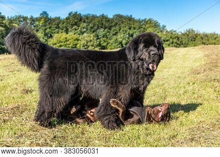 Single Large Black Newfoundland Dog Massive Broad Snout. Young Newfoundland Dog Playing On A Green F
