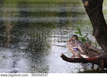 Duck On A Pond In The Park. Duck In Nature. A Cute Duck Is Sitting On A Tree Branch On The Bank Near