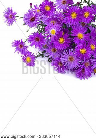 Wild Asters On White Background. Michaelmas Daisies (symphyotrichum Novi-belgii Or New York Aster, A