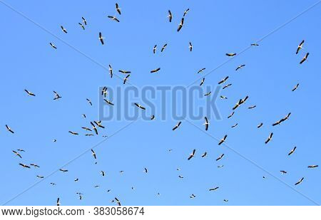 A Flock Of Migrating White Storks (ciconia Ciconia) In Flight In Sky