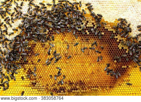 Bees (apis Mellifera) With Queen Bee On Honeycomb With Of Honey And Pollen