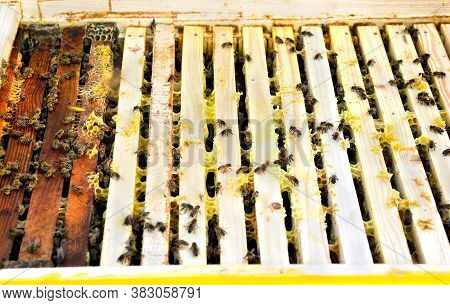Honey Bees (apis Mellifera) On Wooden Frames In Beehive