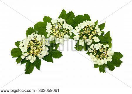 Flower And Leaves Viburnum Opulus (common Names: Guelder-rose, Water Elder, Cramp Bark, Snowball Tre