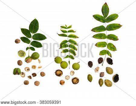 Leaves And Fruit Species Of Walnut Family: Juglans Regia (persian, English Walnut, Common Walnut), J