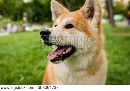 Portrait Of Cute Akita Inu Dog At The Park.