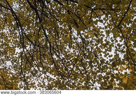 The Background Of Yellow Leaves Of The Limes. Linden Trees, Leaves On The Background . Autumn Backgr