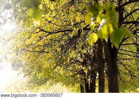 The Background Of Yellow Leaves Of The Limes. Linden Trees, Leaves Against The Sky. Autumn Backgroun