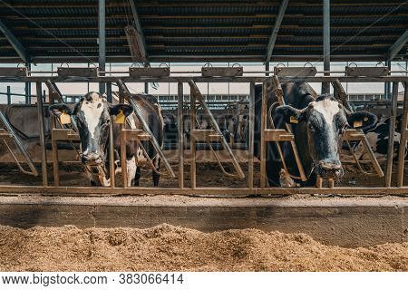 Agriculture Industry, Husbandry In Dairy Farm, Milk Cows Eat Hay In Cowshed.